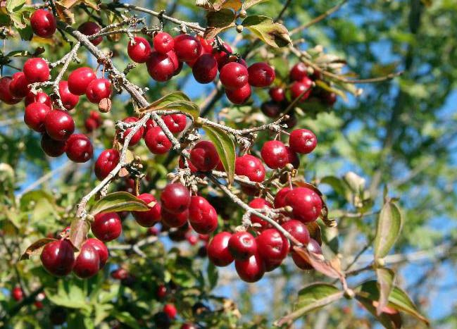 Gyógyító erdei gyümölcsök